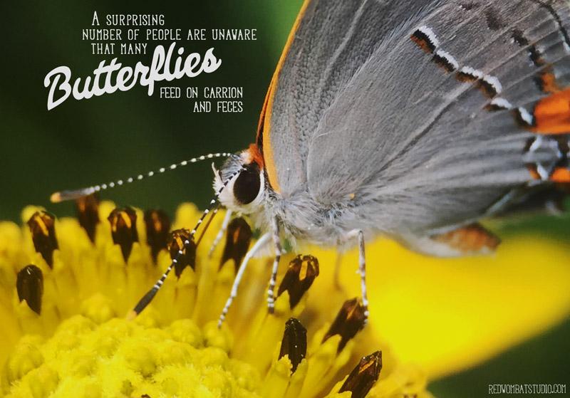 carrionbutterfly